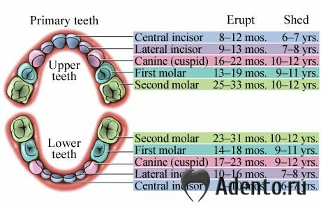 Прорезывание зубов