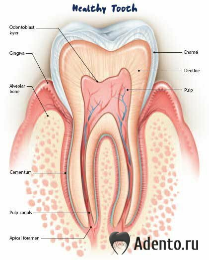 также твердая часть зуба,